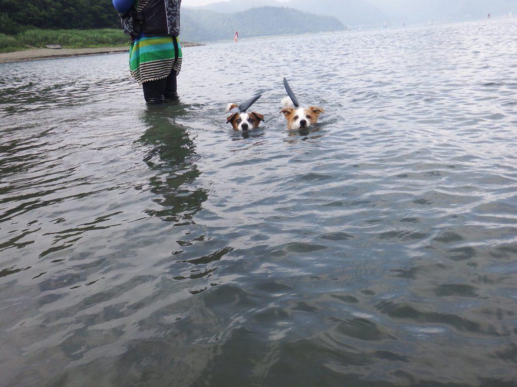 二匹のイヌサメ