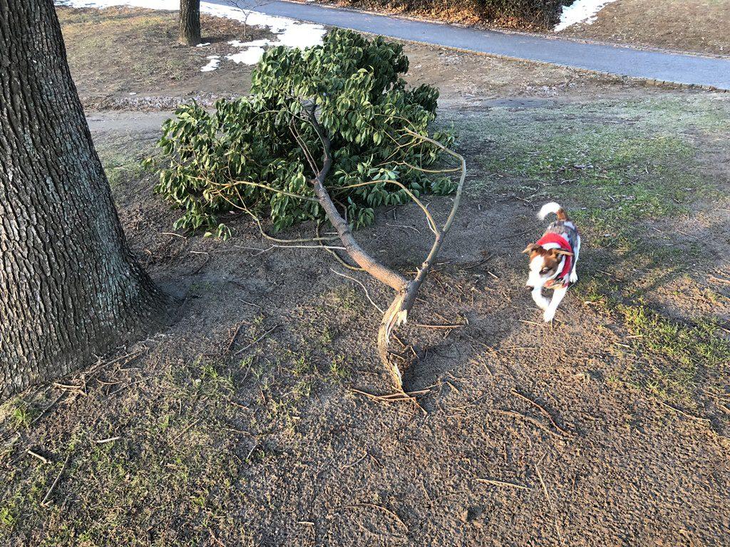 何故か大きな枝が折れていました。