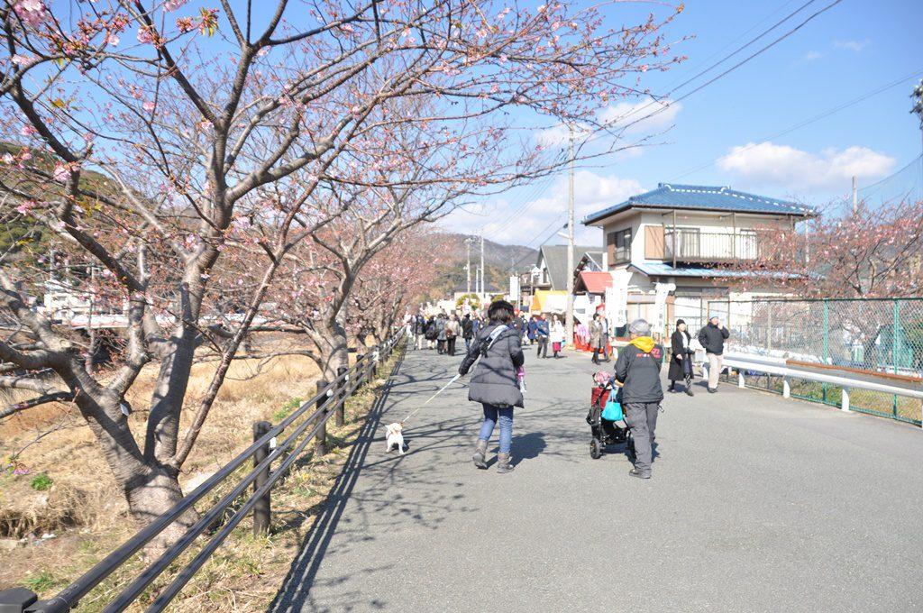 川沿いは一面の桜並木