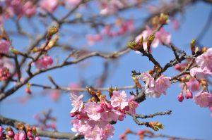 近くで見ると咲いている木も