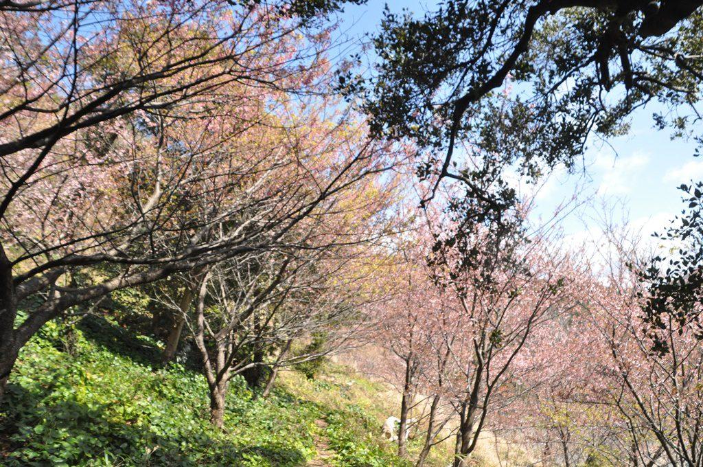 ここでも河津桜が咲いています。