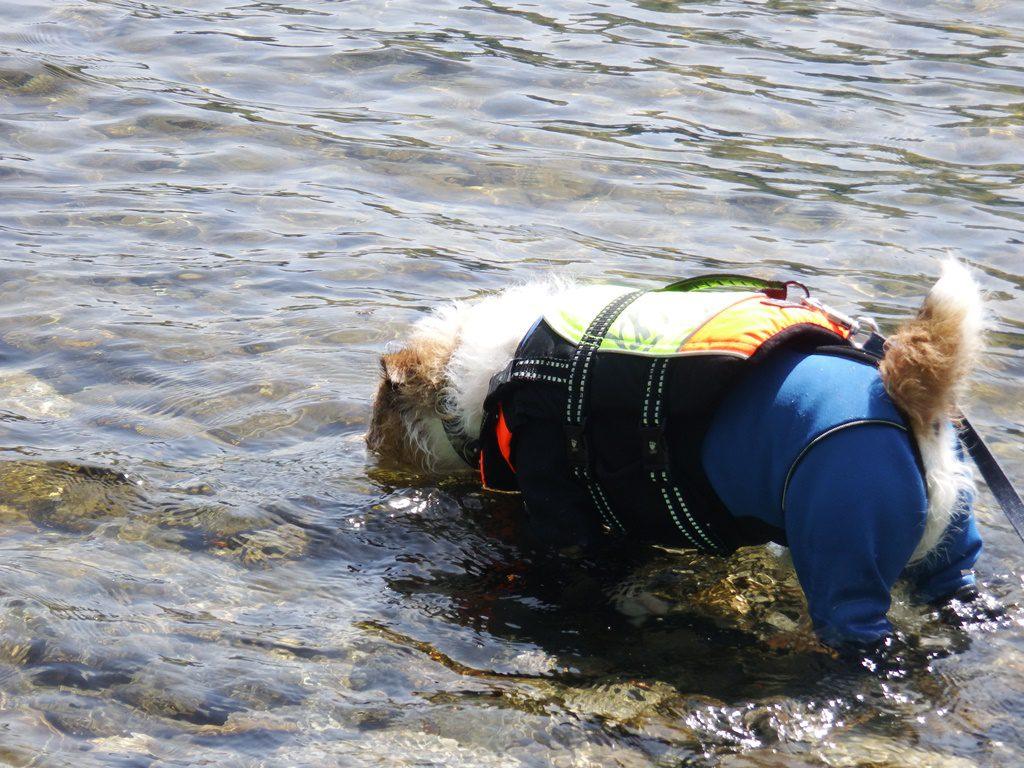 水中の石を探しているマッシュ