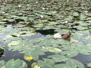 コウホネ、黄色の水連、水連。